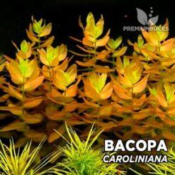 Bacopa Caroliniana planta de acuario