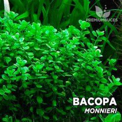 Bacopa Monnieri planta de acuario