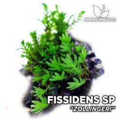 Fissidens Zollingeri musgo de acuario