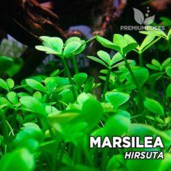 Marsilea Hirsuta planta de acuario