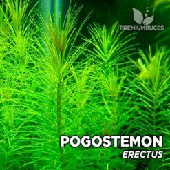 Pogostemon Erectus planta de acuario
