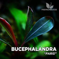 """Bucephalandra """"Paris"""" planta de acuario"""