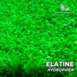 Elatine Hydropiper In-vitro planta de acuario