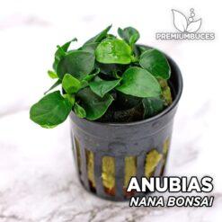Anubias Nana Bonsai planta de acuario