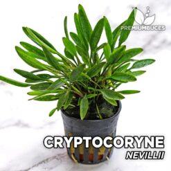 Cryptocoryne Nevillii Planta de acuario