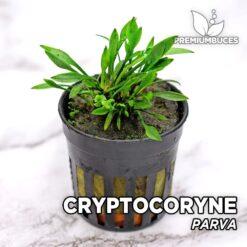Cryptocoryne Parva Planta de acuario