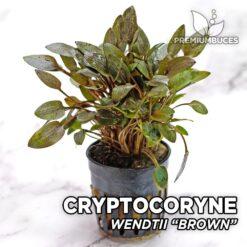 Cryptocoryne Wendtii Brown Planta de acuario