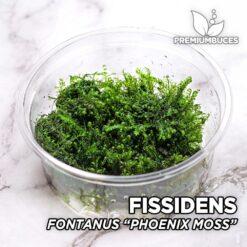 "Fissidens Fontanus ""Phoenix Moss"" Musgo de acuario"