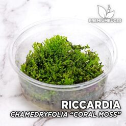"Riccardia Chamedryfolia ""Coral Moss"" Musgo de acuario"