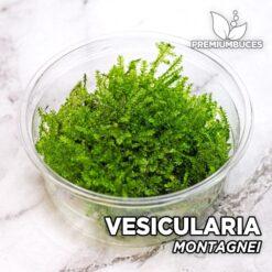 """Vesicularia Montagnei """"Christmas Moss"""" Musgo de acuario"""