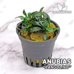 "Anubias Nana ""Pangolino"" Planta de acuario"