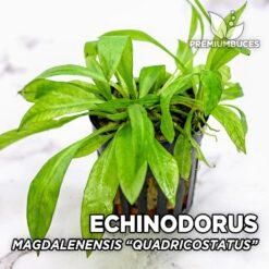 """Echinodorus Magdalenensis """"Quadricostatus"""" Planta de acuario"""