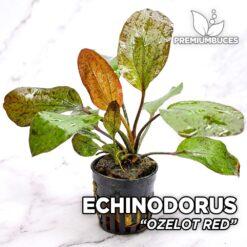Echinodorus Ozelot Red Planta de acuario
