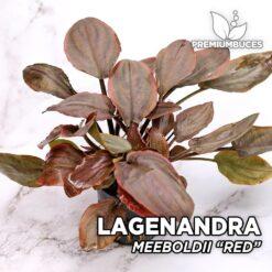 """Lagenandra Meeboldii """"Red"""" Planta de acuario"""