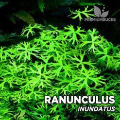 Ranunculus Inundatus Planta de acuario