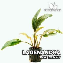 Lagenandra Keralensis Planta de acuario