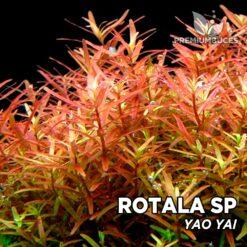 "Rotala sp. ""Yao Yai"" Planta de acuario"