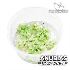 """Anubias """"Snow White"""" Planta de acuario"""