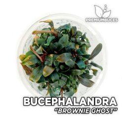"""Bucephalandra """"Brownie Ghost"""" Planta de acuario"""
