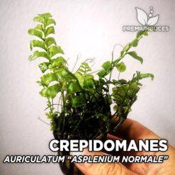 """Crepidomanes sp. """"Borneo"""" Planta de acuario"""