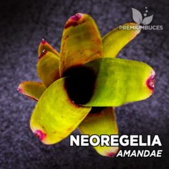 Neoregelia Amandae Planta de terrario