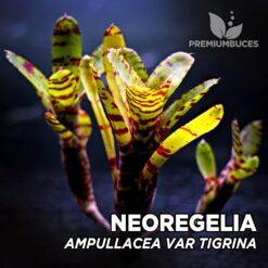 Neoregelia Ampullacea var. Tigrina Planta de terrario