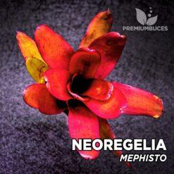 Neoregelia Mephisto Planta de terrario