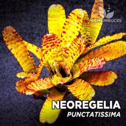 Neoregelia Punctatissima Planta de terrario