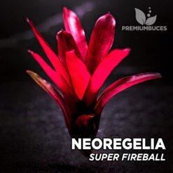 Neoregelia Super Fireball Schultsiana Planta de terrario