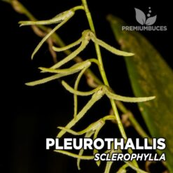 Pleurothallis Sclerophylla Orquídea para Terrario